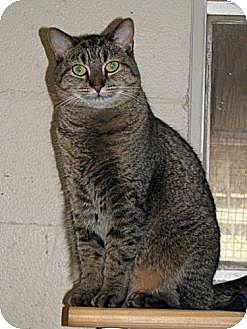 Domestic Shorthair Cat for adoption in McDonough, Georgia - Tabitha