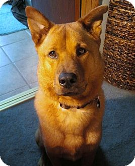 Chow Chow/Shepherd (Unknown Type) Mix Dog for adoption in Los Angeles, California - Pepper