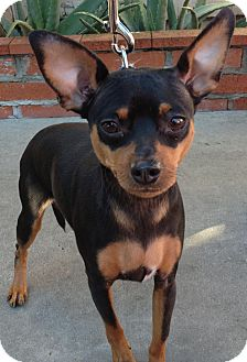 Miniature Pinscher Mix Dog for adoption in Poway, California - KOBY