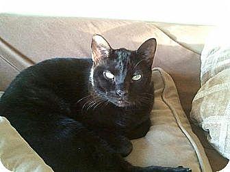 Domestic Shorthair Cat for adoption in Columbus, Ohio - Kenny