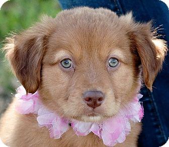 Labrador Retriever Mix Puppy for adoption in Portsmouth, Rhode Island - Hula