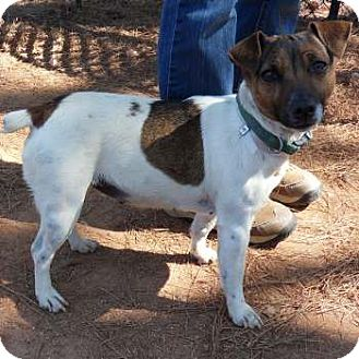 Jack Russell Terrier Mix Dog for adoption in hartford, Connecticut - Zoey