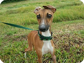 Italian Greyhound Puppy for adoption in North Fort Myers, Florida - Luigi
