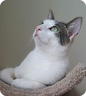 American Shorthair Cat for adoption in Palatine, Illinois - Rocky