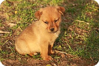 Chihuahua/Dachshund Mix Puppy for adoption in Ranger, Texas - Frankie
