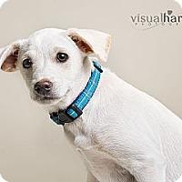 Adopt A Pet :: Bogie - Phoenix, AZ