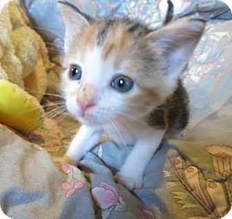 Domestic Shorthair Kitten for adoption in Geneseo, Illinois - Catalina