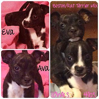 Boston Terrier/Rat Terrier Mix Puppy for adoption in Grand Bay, Alabama - Eva & Ava