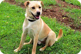 Labrador Retriever/Pug Mix Dog for adoption in Salem, New Hampshire - BOBBY