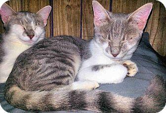 Domestic Shorthair Kitten for adoption in Morganton, North Carolina - Anna