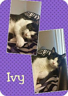 Domestic Shorthair Cat for adoption in Arlington/Ft Worth, Texas - Ivy