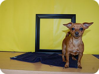 Chihuahua/Miniature Pinscher Mix Dog for adoption in North Judson, Indiana - Tick