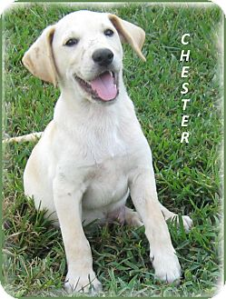 Labrador Retriever/Golden Retriever Mix Puppy for adoption in Marlborough, Massachusetts - Chester-Snuggle Bug