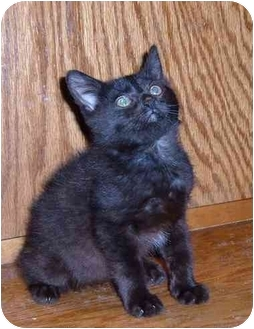 Domestic Shorthair Cat for adoption in Bedford, Massachusetts - Sabrina