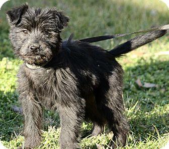 Schnauzer (Standard)/Labrador Retriever Mix Puppy for adoption in Washington, D.C. - Asher