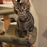 Domestic Shorthair Cat for adoption in Ashland, Ohio - Sweet Mama