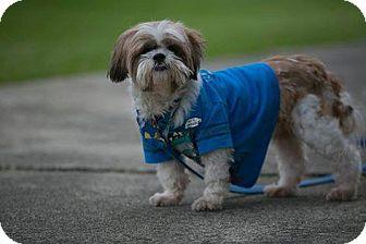 Shih Tzu Dog for adoption in Pataskala, Ohio - Scooby
