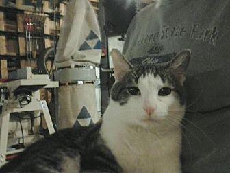 Domestic Shorthair Cat for adoption in Columbus, Ohio - TC