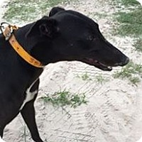 Adopt A Pet :: High Springs Gal - Gainesville, FL