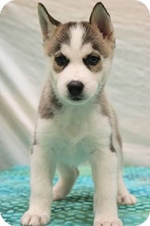 Siberian Husky/Husky Mix Puppy for adoption in Bedminster, New Jersey - Etta