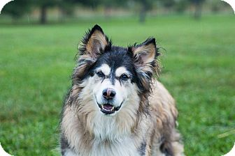 Collie/Husky Mix Dog for adoption in Seville, Ohio - Zoey