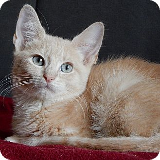 Domestic Shorthair Kitten for adoption in Long Beach, New York - Oliver