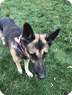 German Shepherd Dog Dog for adoption in Littleton, Colorado - BEAR