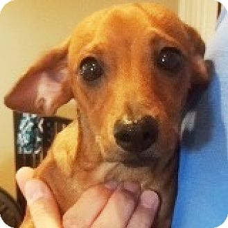 Dachshund Mix Puppy for adoption in Houston, Texas - Ryder Redshirt