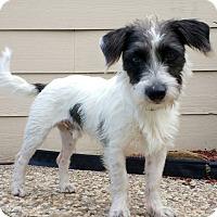 Adopt A Pet :: Munchie in Houston - Houston, TX