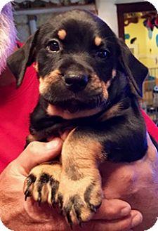 Shepherd (Unknown Type)/Hound (Unknown Type) Mix Puppy for adoption in ST LOUIS, Missouri - MUTTLEY