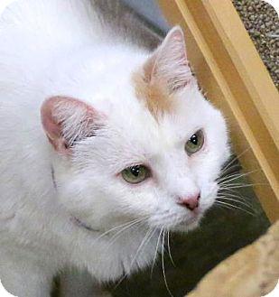 Domestic Mediumhair Cat for adoption in Gloucester, Massachusetts - Crisco