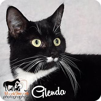 Domestic Shorthair Cat for adoption in Broadway, New Jersey - Glenda