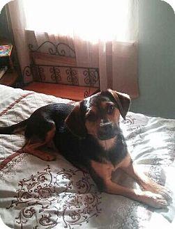 Beagle/Chihuahua Mix Dog for adoption in Lima, Pennsylvania - Molly