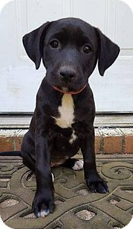 Labrador Retriever Mix Puppy for adoption in Mobile, Alabama - Precious