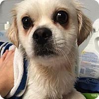 Adopt A Pet :: Braden - Valparaiso, IN