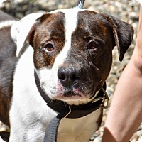 Adopt A Pet :: Zeus - Danbury, CT