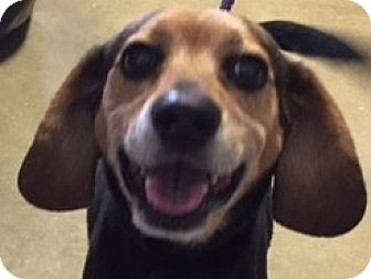 Beagle Mix Dog for adoption in Canoga Park, California - Booker