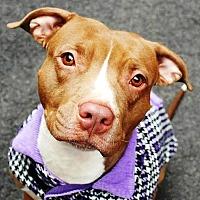 Adopt A Pet :: Georgia - Ridgefield, CT