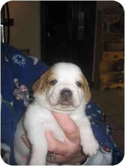 Beagle/English Bulldog Mix Puppy for adoption in Buffalo, New York - Spike