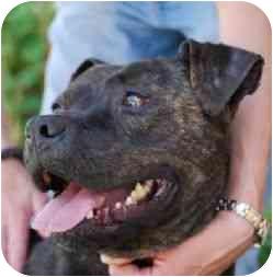American Pit Bull Terrier Dog for adoption in Berkeley, California - Ranger