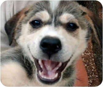 Australian Cattle Dog/Labrador Retriever Mix Puppy for adoption in McCormick, South Carolina - Willow
