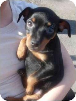 Dachshund/Rat Terrier Mix Puppy for adoption in Foster, Rhode Island - Fergie