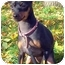 Photo 4 - Miniature Pinscher Puppy for adoption in Chicago, Illinois - Roxie