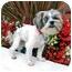 Photo 1 - Shih Tzu/Maltese Mix Dog for adoption in Los Angeles, California - TIKA