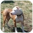 Photo 2 - Pit Bull Terrier Mix Dog for adoption in Bakersfield, California - Charlie
