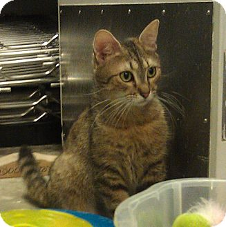 Domestic Shorthair Cat for adoption in Greenville, South Carolina - Doodle