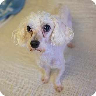 Miniature Poodle Mix Dog for adoption in Philadelphia, Pennsylvania - Henry
