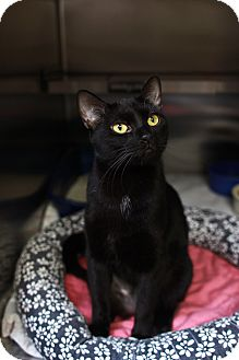 Domestic Shorthair Cat for adoption in St. Petersburg, Florida - Betty