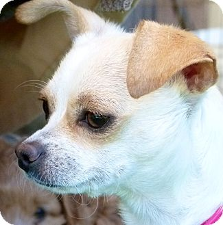 Chihuahua Dog for adoption in San Marcos, California - Emily