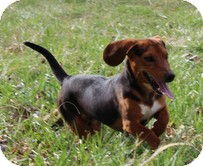 Dachshund/Beagle Mix Dog for adoption in Allentown, Pennsylvania - Zaxby